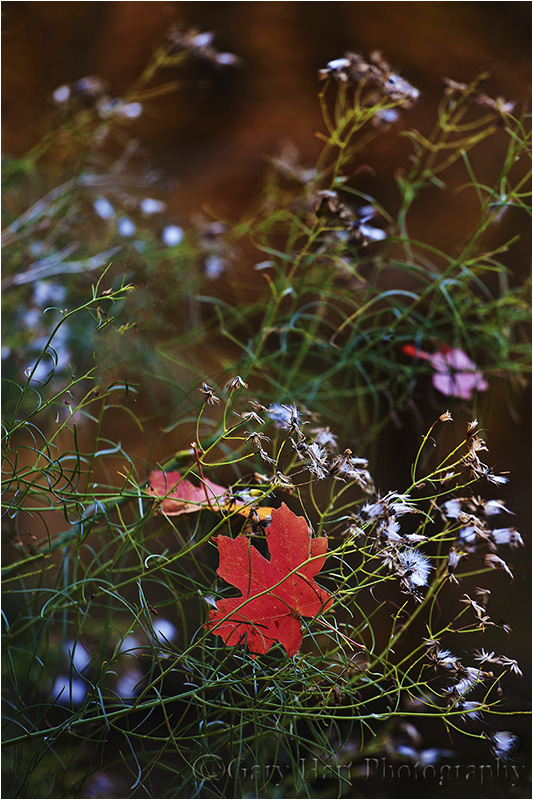 Dangling maple leaf, Zion NP, Utah
