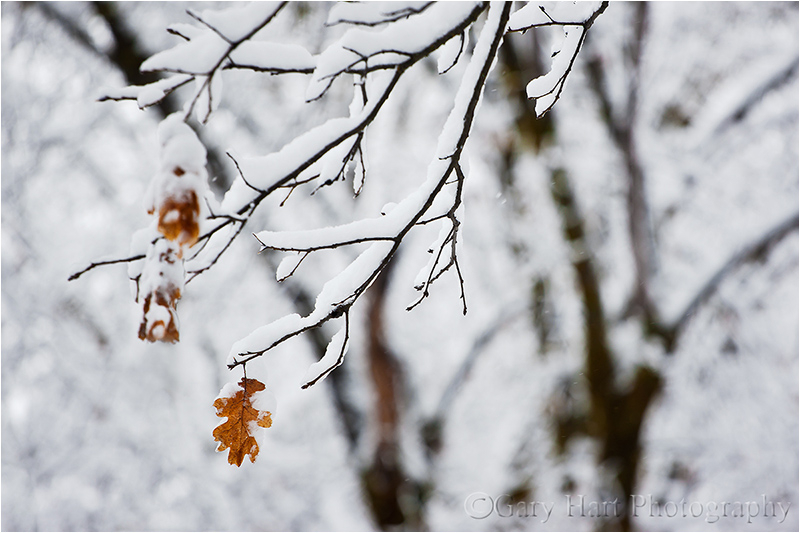 A trio of leaves clings to a snowy branch