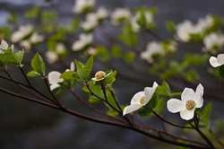 Dogwood blooms near the Merced River, Yosemite