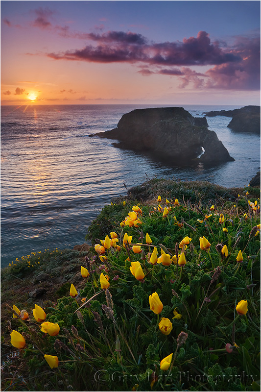 Poppies at sunset, Mendocino Headlands