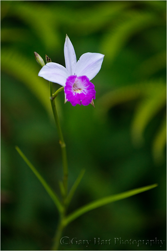 Wild Orchid, Lava Tree State Park, Hawaii