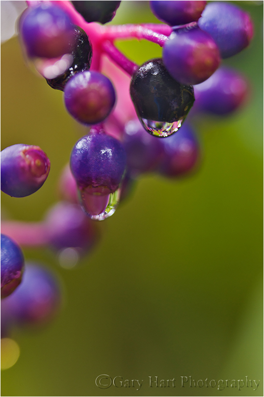 Raindrops, Rose Grape (Medinilla), Hawaii
