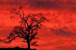 Oak at Sunset, Sierra foothills