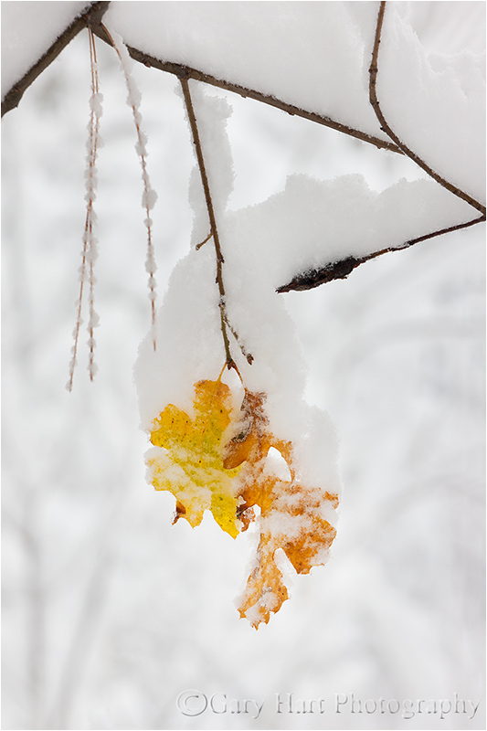 Leaves and Snow, Yosemite Valley
