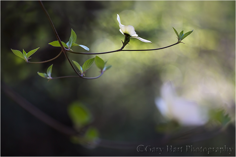 Floating Dogwood, Merced River, Yosemite