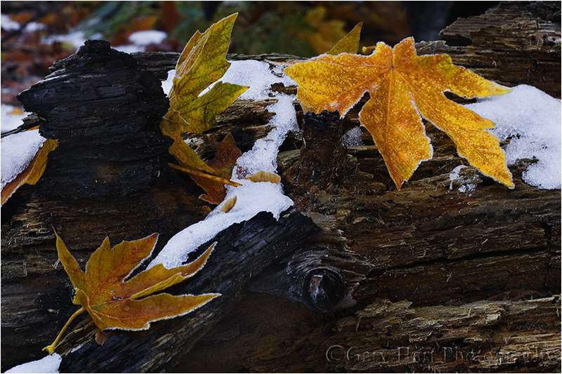 Leaves and Snow, Yosemite