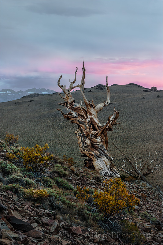 Bristlecone at Sunset, Schulman Grove, White Mtns.