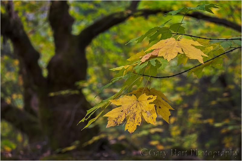Fall Color, Yosemite Valley