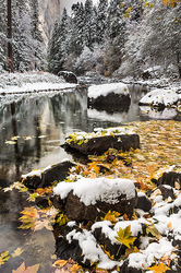 Fresh Snow on Autumn Leaves, Yosemite
