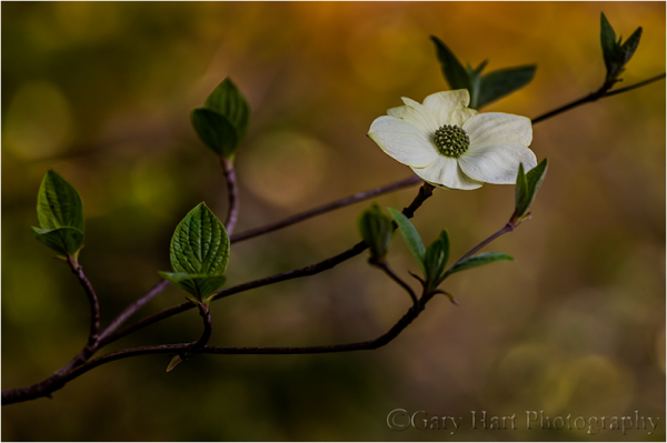 Single Dogwood, Pohono Bridge, Yosemite