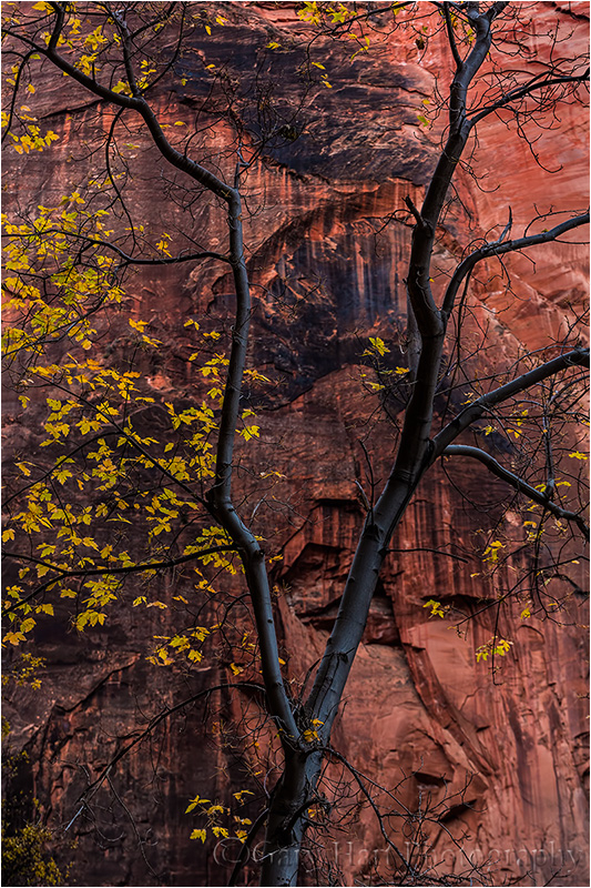 Tree and Sandstone, Virgin River Canyon, Zion NP