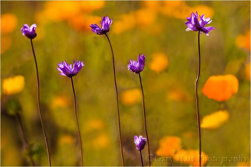 Spring Potpourri, Sierra Foothills, California