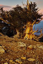 Bristlecone Moonrise, Patriarch Grove, White Mtns.