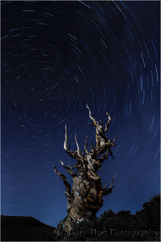 Star Trails and Ancient Bristlecone, White Mtns.
