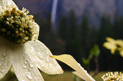 Bridalveil Dogwood, Yosemite (April 2004)
