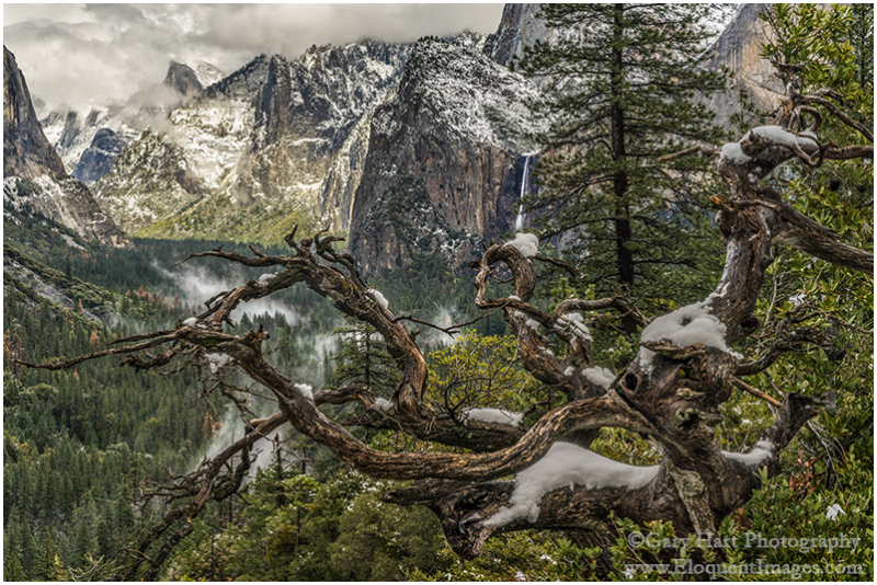 Snow on Old Tree, Yosemite