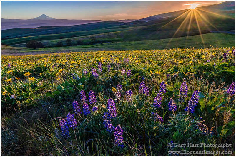 Wildflowers and Mt. Hood, Columbia River Gorge