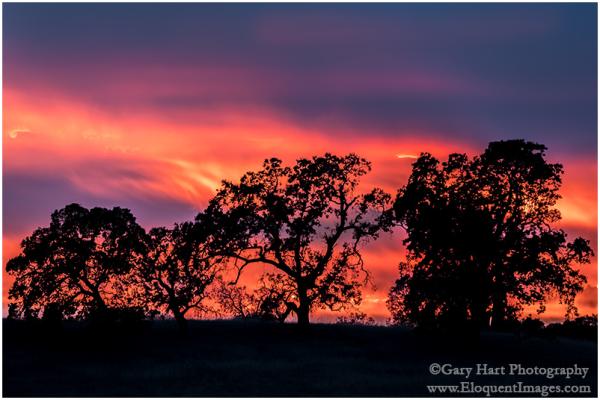 Flaming Oaks, Sierra Foothills, California