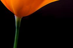Golden Elegance, California Poppy, Sierra Foothill