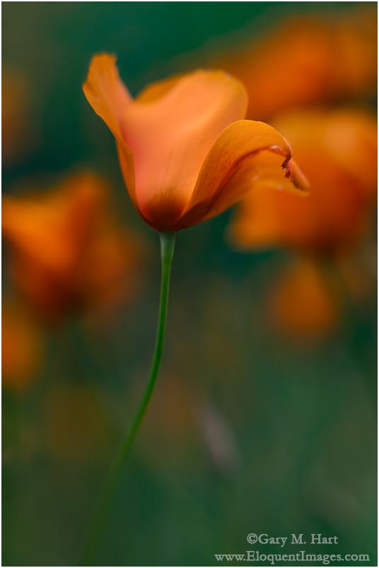 Dancing Poppy, Sierra Foothills, California