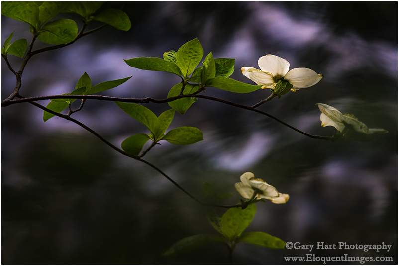 Dogwood Above the Merced River, Yosemite