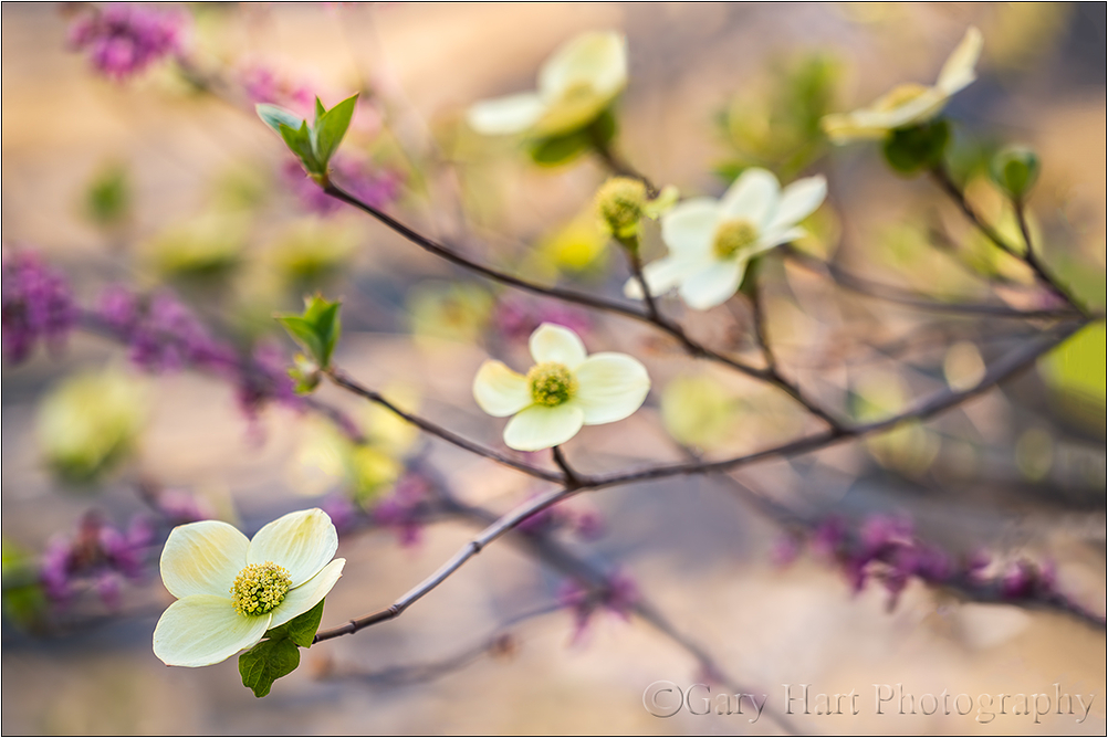 Dogwood and Redbud, Merced River, Yosemite