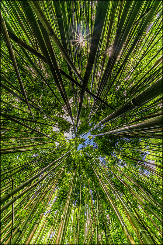 Bamboo Sunstar, Maui, Hawaii