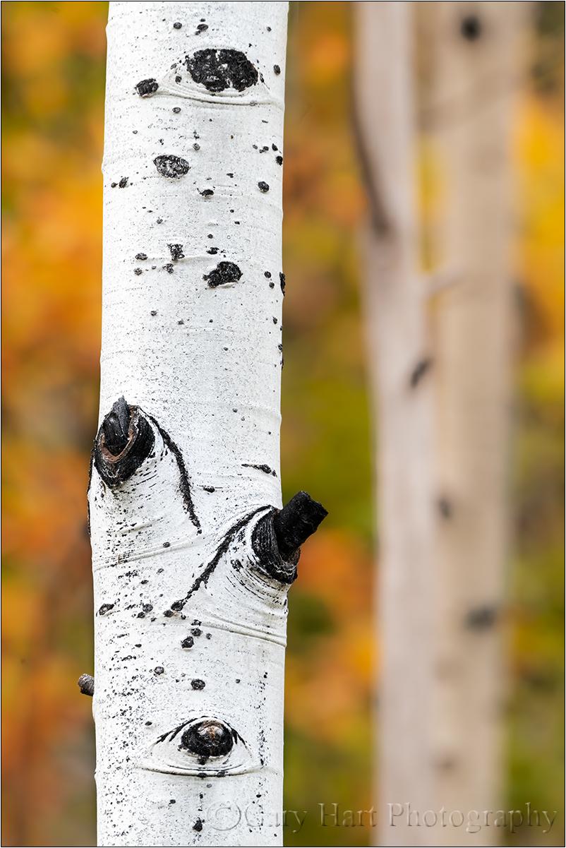 Autumn Aspen, Grand Tetons National Park