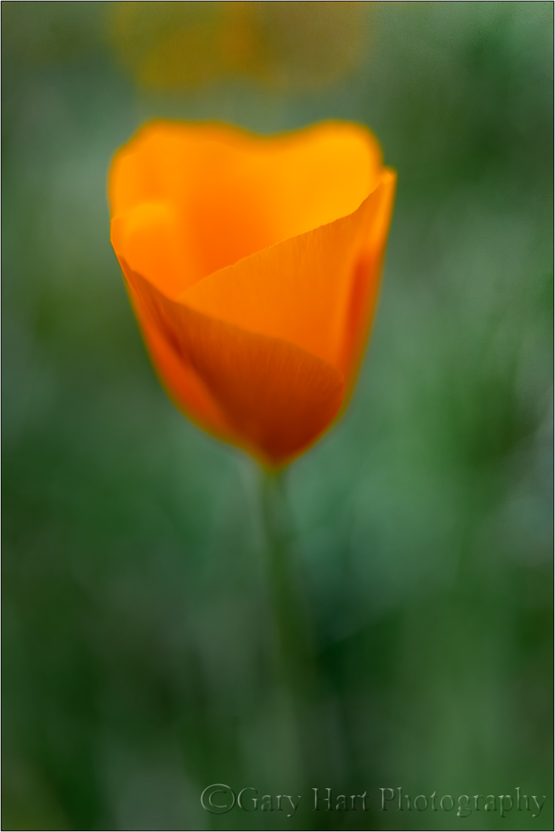 New Poppy, Merced River Canyon, California