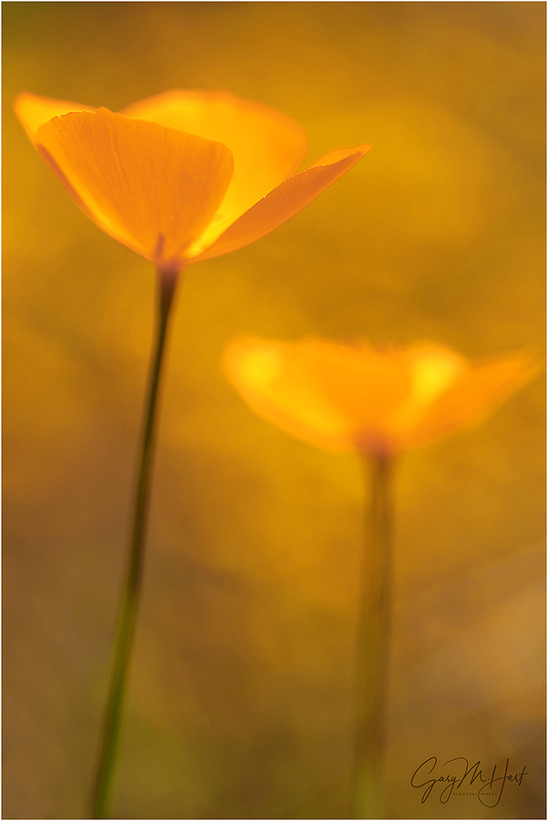 Champagne Glass Poppies, Merced River Canyon, Ca.