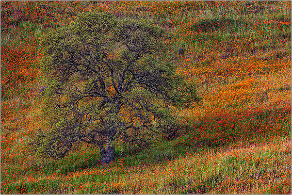 California Spring, Oak & Poppies. Sierra Foothills