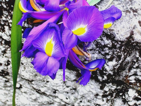 042 / Iris