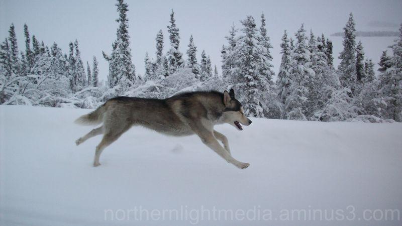 Chena My Alaskan Husky Animal Amp Insect Photos