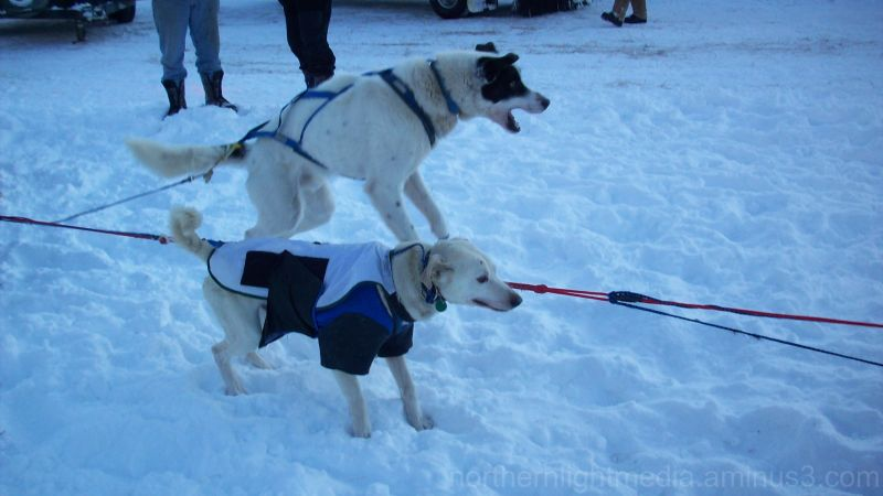 Alaska - excited sled dog lunges in his harness