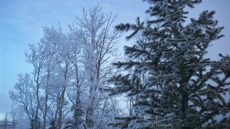 frosty winter trees in Alaska