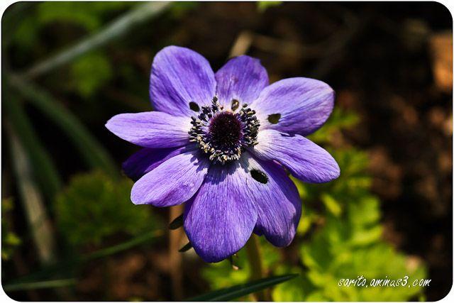 Flower - 1 - Anemone