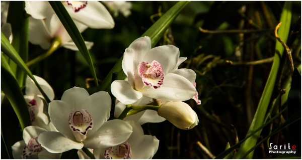 Orchid - 6