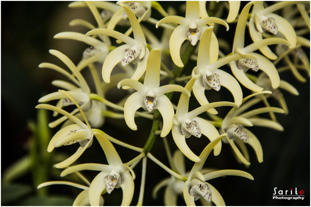 Orchid - 7