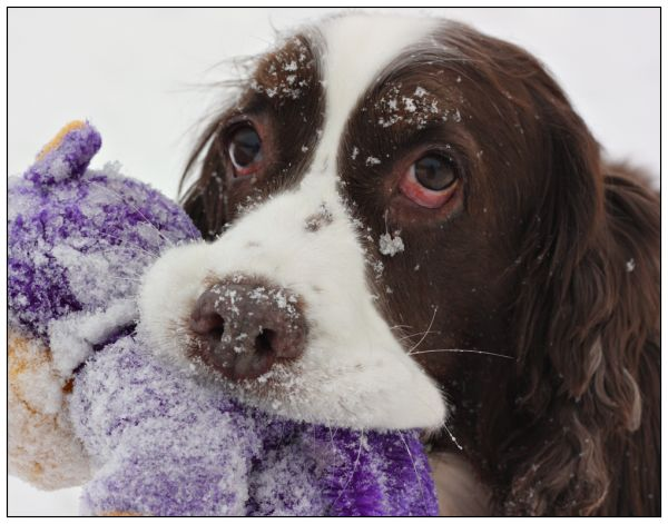 Sadie  My English Springer Spaniel winter play