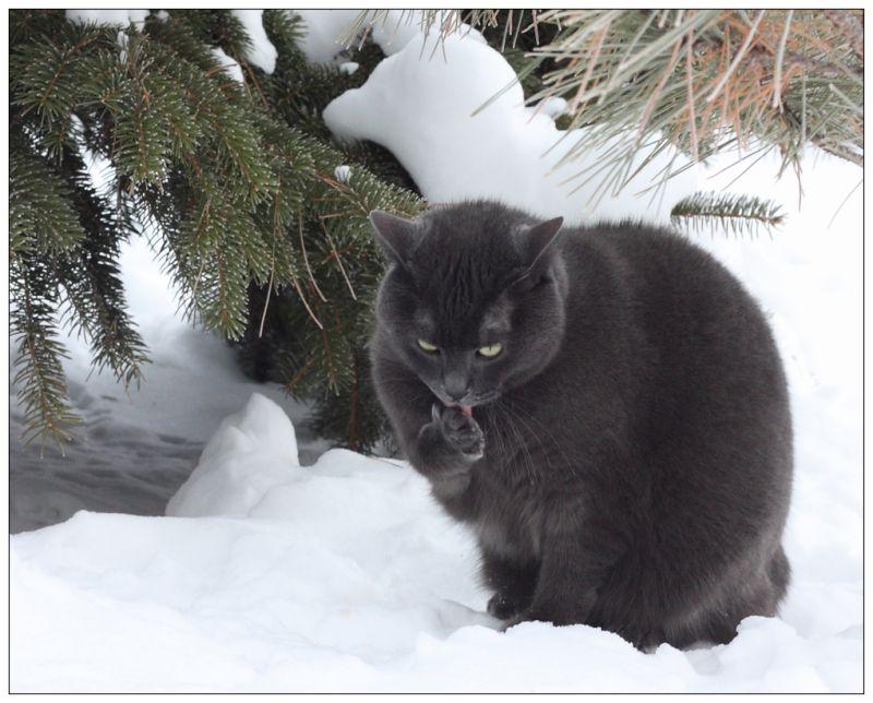 Bear my Manx cat ventures outdoors on a winterday.