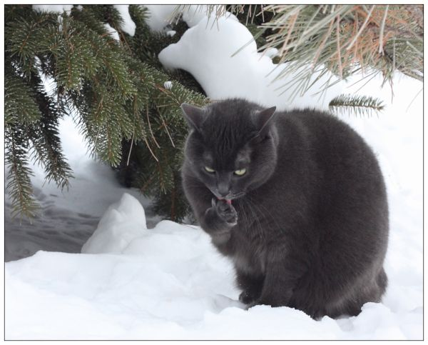 Bear my Manx cat ventures outdoors on a winterday.