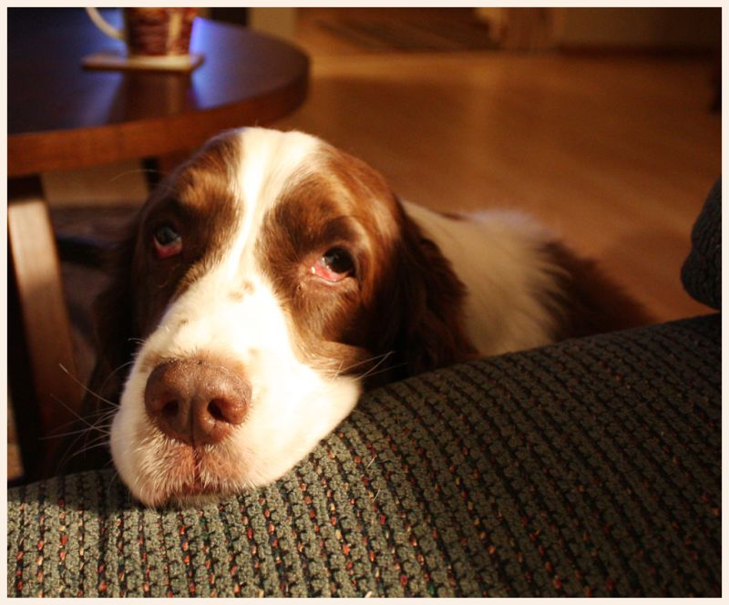Sadie  My English Springer Spaniel