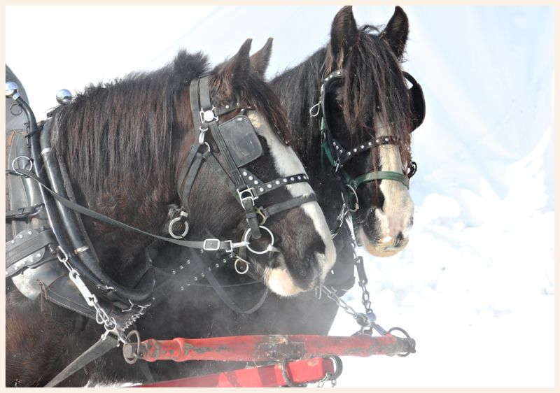 two horses preparing to pull a horse drawn sled.
