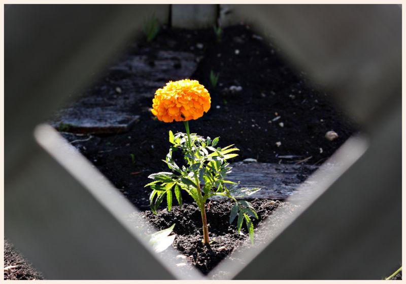 marigold peeking