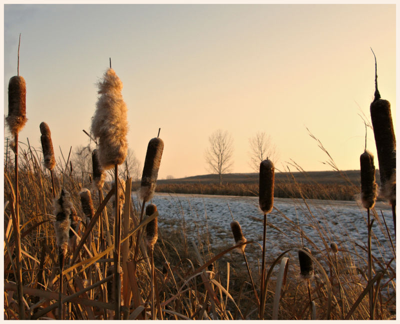 bulrushes and the morning sun