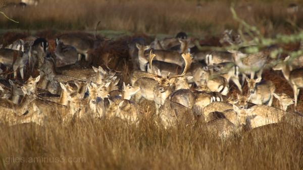 Oh Deer, staggering..............
