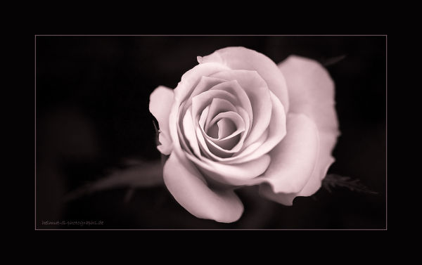 ~ the rose ~