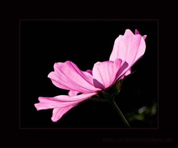 ~ pink ~