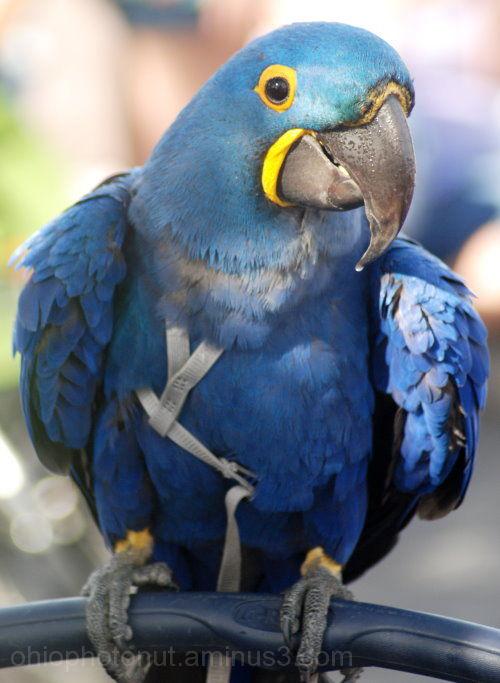 Blue Macaw Bird