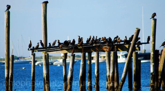 Seabirds, Cape Cod Birding